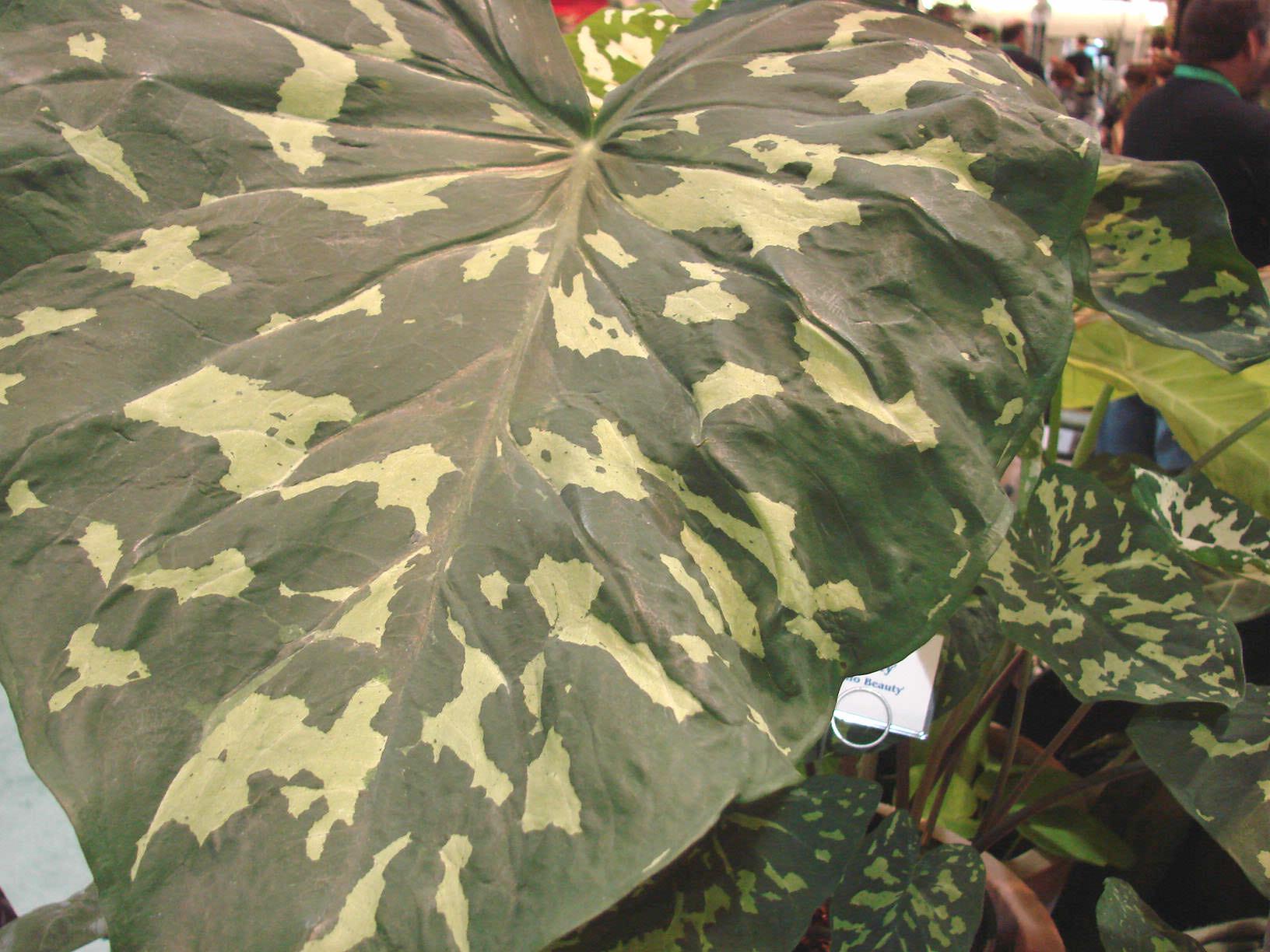 Elephant Ear Plant Giant Elephant Ear Plant Alocasia Colocasia