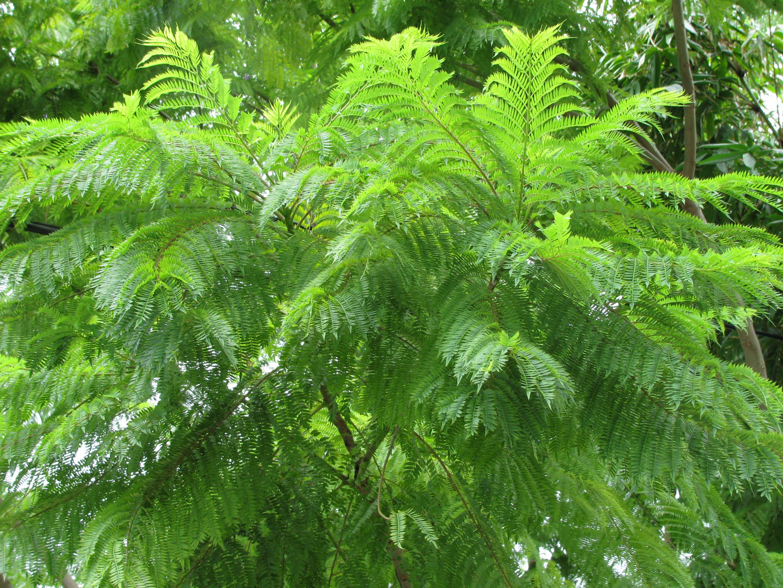 Jacaranda, Jacaranda Acutifolia