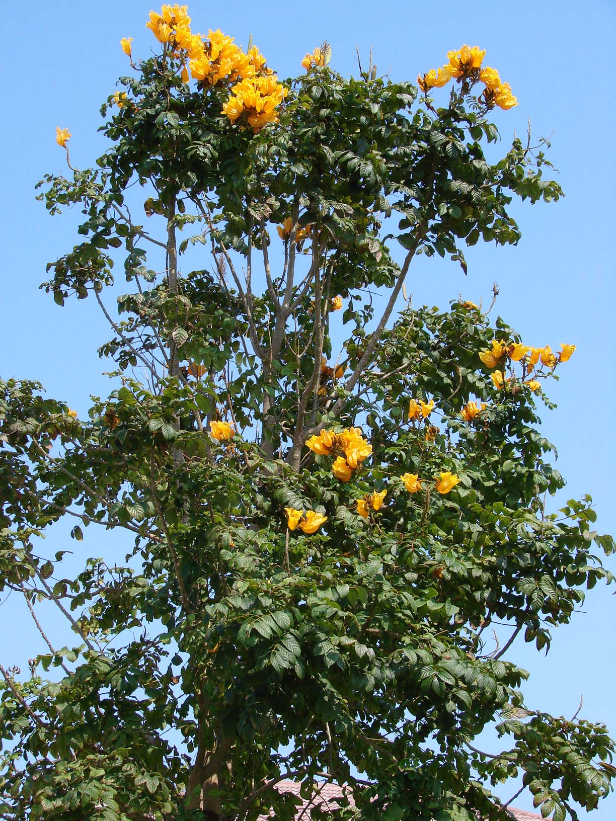 African tulip tree spathodea campanulata another variety is spathodea campanulata aurea which has flowers that vary from yellow to near orange and is a smaller tree grown only from cuttings and mightylinksfo