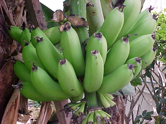banana tree banana fruit musa species ornamental banana. Black Bedroom Furniture Sets. Home Design Ideas