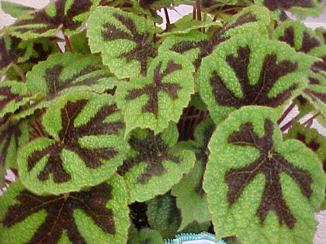 Cross Begonia Begonia Iron Cross
