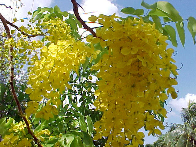 Golden shower tree golden rain tree senna fistula x cassia fistula this cassia is a summer bloomer starting as early as april then through august and a south florida favorite mightylinksfo