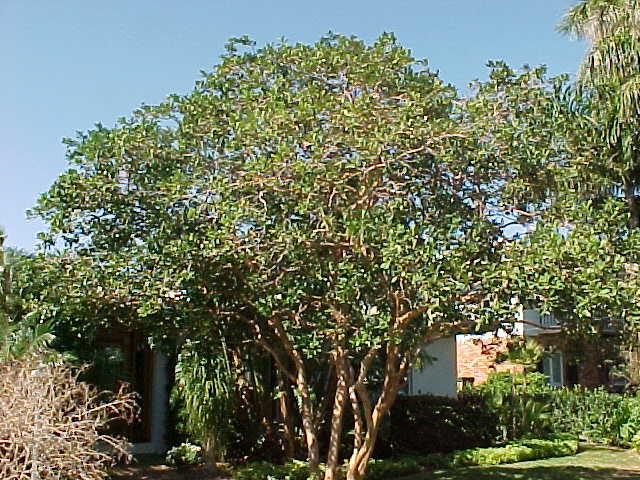 The old guava tree | Sulekha Creative