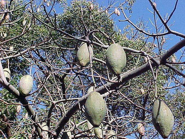 Chorisia speciosa floss silk tree silk floss tree a fully mature tree mightylinksfo