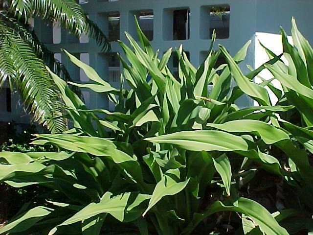 Crinum Lily Crinum Asiaticum