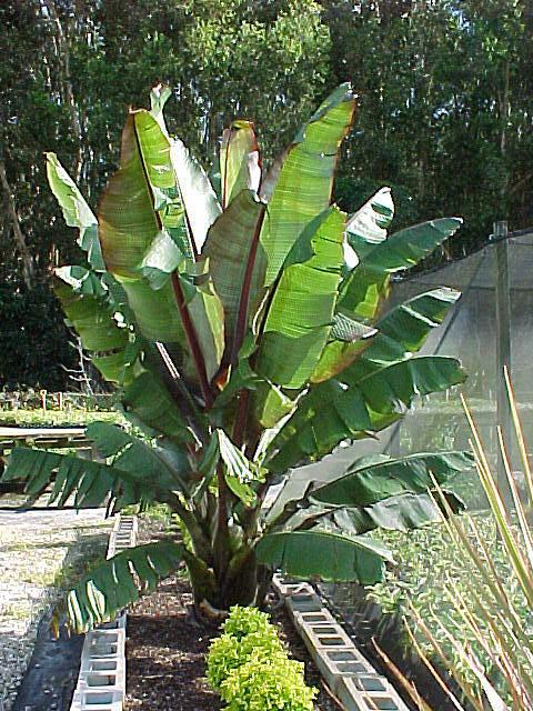 Banana tree, Banana fruit, Musa species, Ornamental banana plants