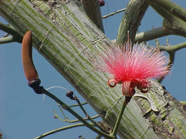Shaving Brush Tree Bombax Ellipticum