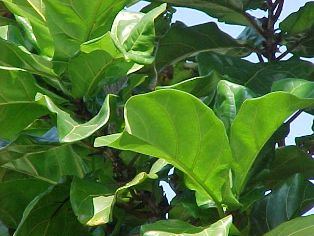Tualang Plant