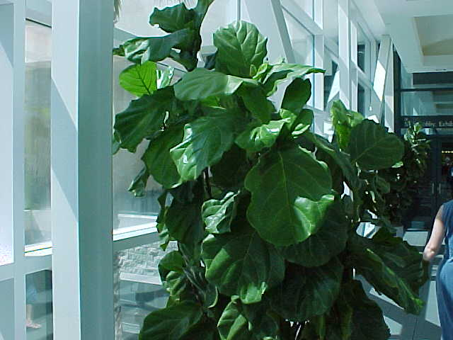 How to for your indoor plants links pictures and articles - Big leaf indoor plants ...