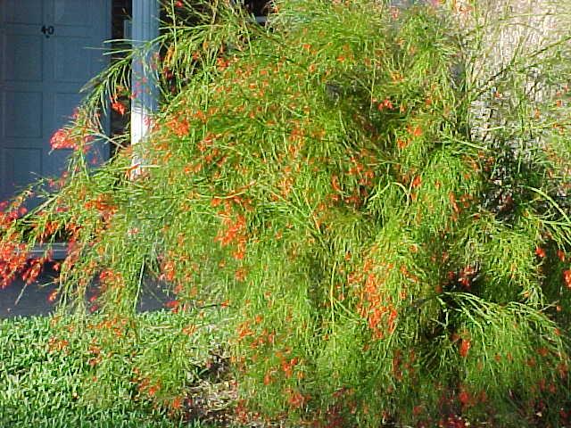 Salt Tolerant Plants Seaside Plants Florida Seaside