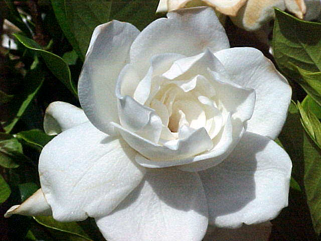 gardenia, gardenia jasminoides or augusta, Beautiful flower
