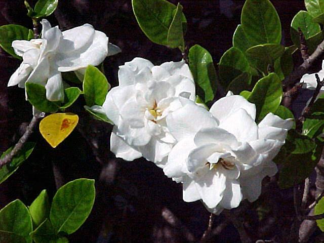 Gardenia, Gardenia jasminoides or augusta