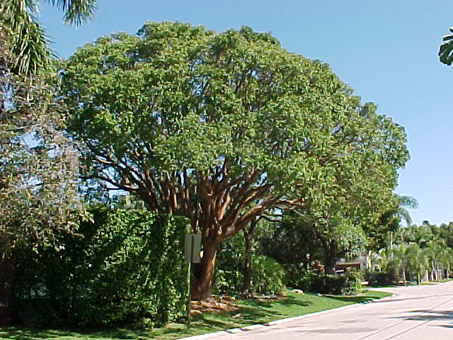 Tropical Trees And Sub Tropical Trees List Pictures And