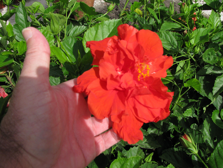 Tropical Hibiscus Hibiscus Rosa Sinensis