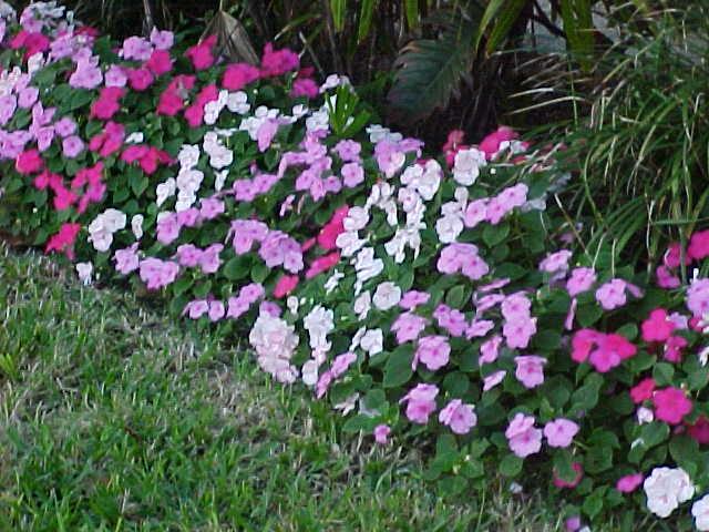Impatien Flower Color Combinations