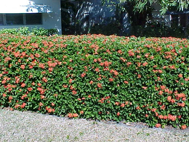 Tropical Hedges A Primer List Pictures And Articles