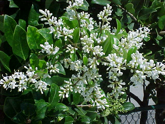 Japanese Privet Ligustrum Japonicum