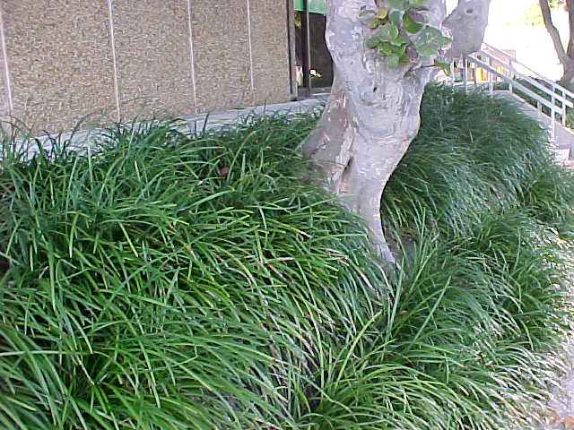 Tropical Ground Covers Sub Tropical Ground Covers List Pictures