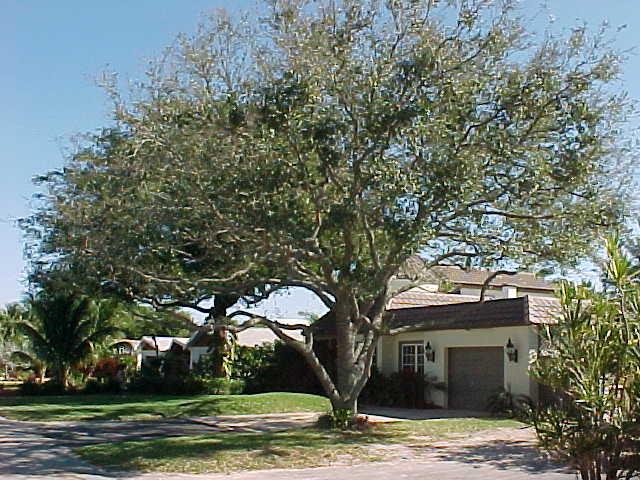 Planting Live Oak Tree Acorns : Florida live oak quercus virginiana