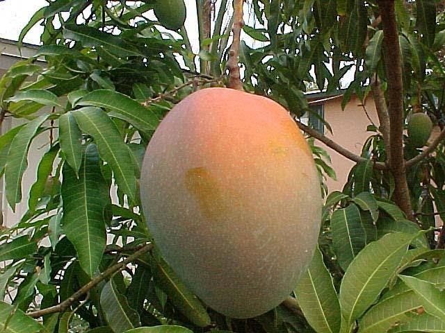 Mango Fruit Smoothie Recipe