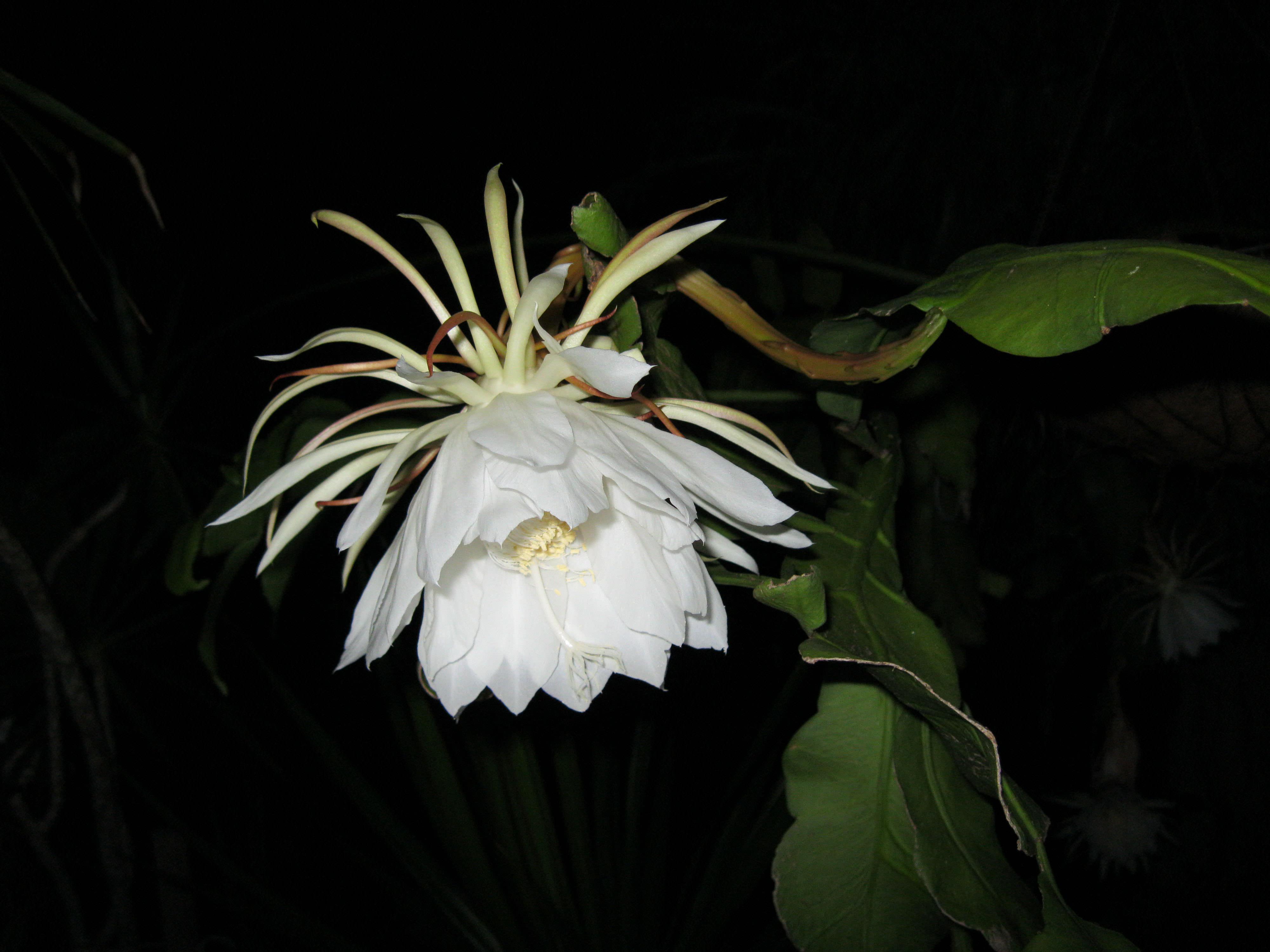 True Night Blooming Cereus Epiphyllum oxypetalum article