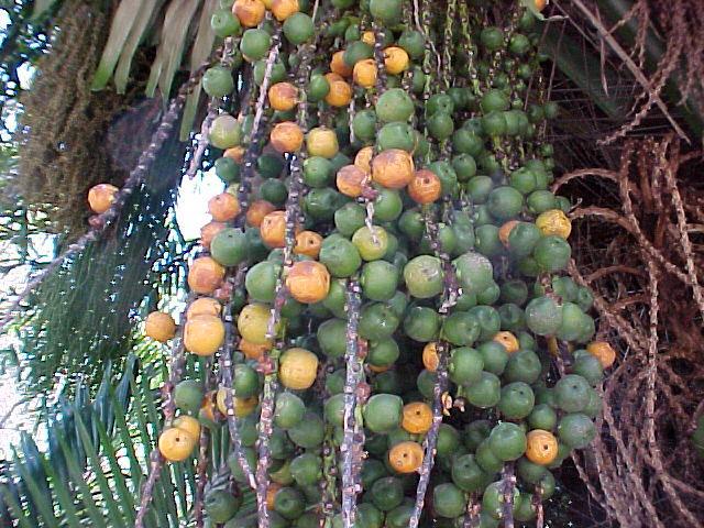 palm_sugar_ArgengaPinnata04.jpg