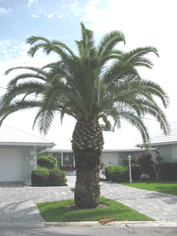 canary island date palm pineapple palm phoenix. Black Bedroom Furniture Sets. Home Design Ideas