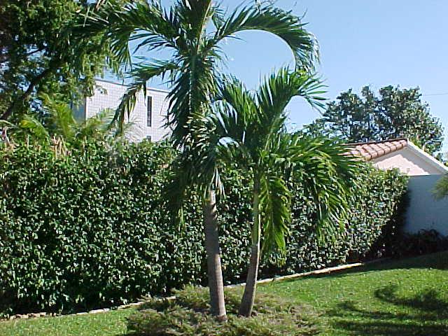 Christmas Tree Palms
