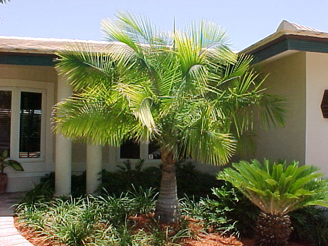 Majesty Palm Ravenea Glauca Or Ravenea Rivularis Article