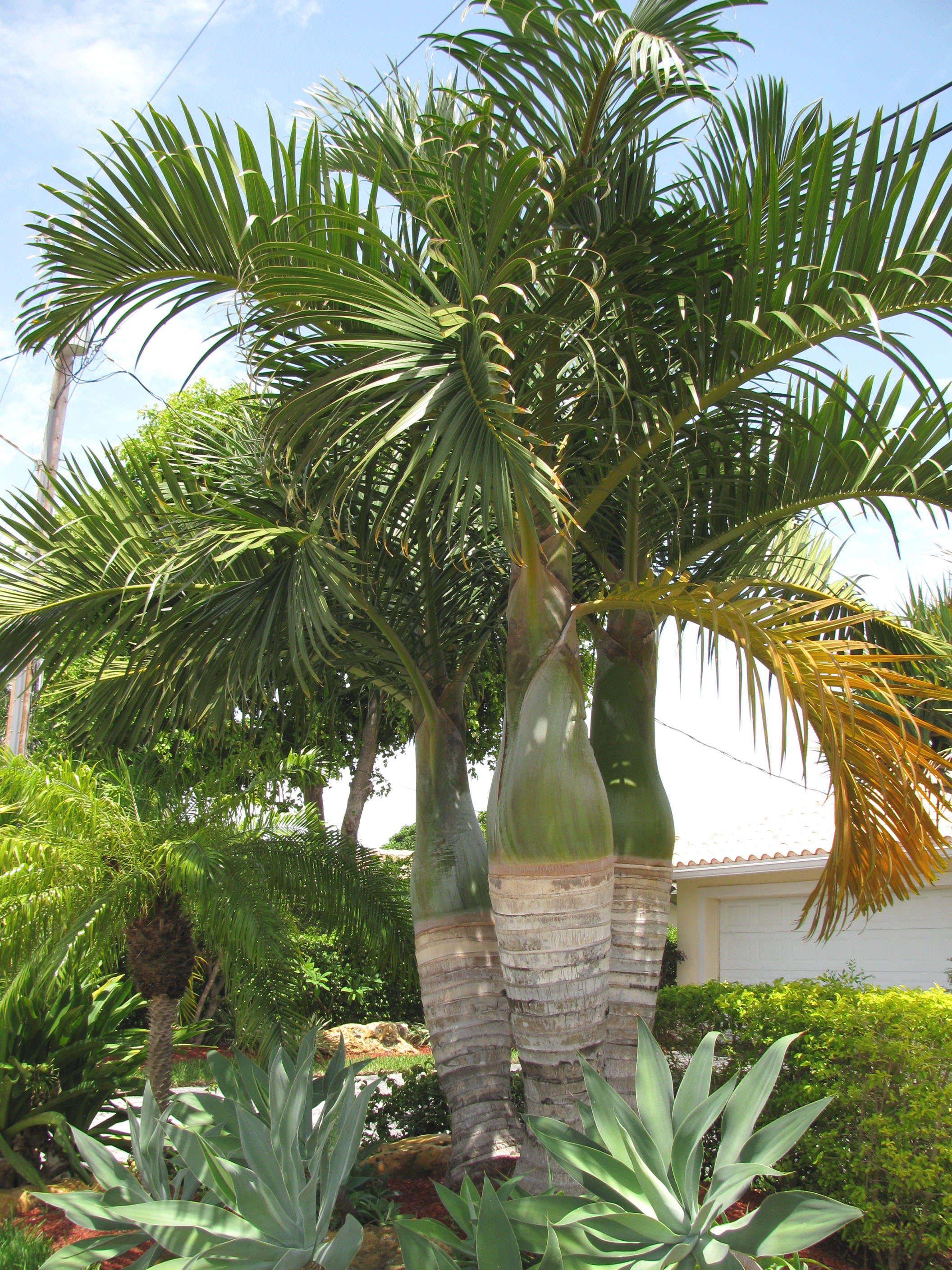 Spindle palm is often planted as a group of three