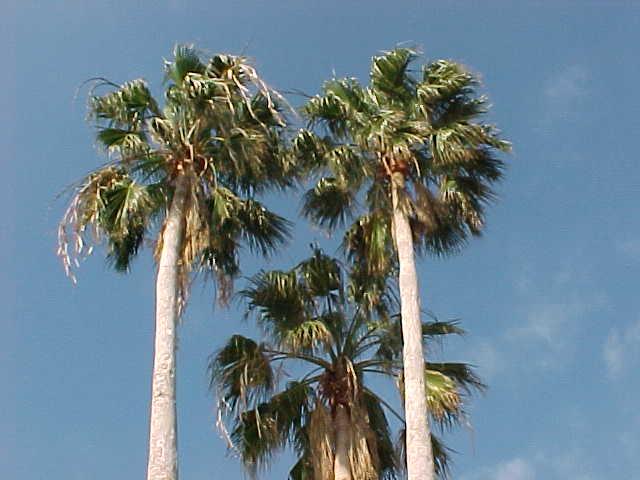 washingtonia palm washingtonia palm mexican fan palm. Black Bedroom Furniture Sets. Home Design Ideas