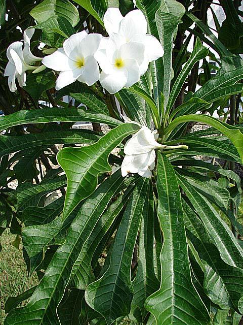 Plumeria Frangipani Article