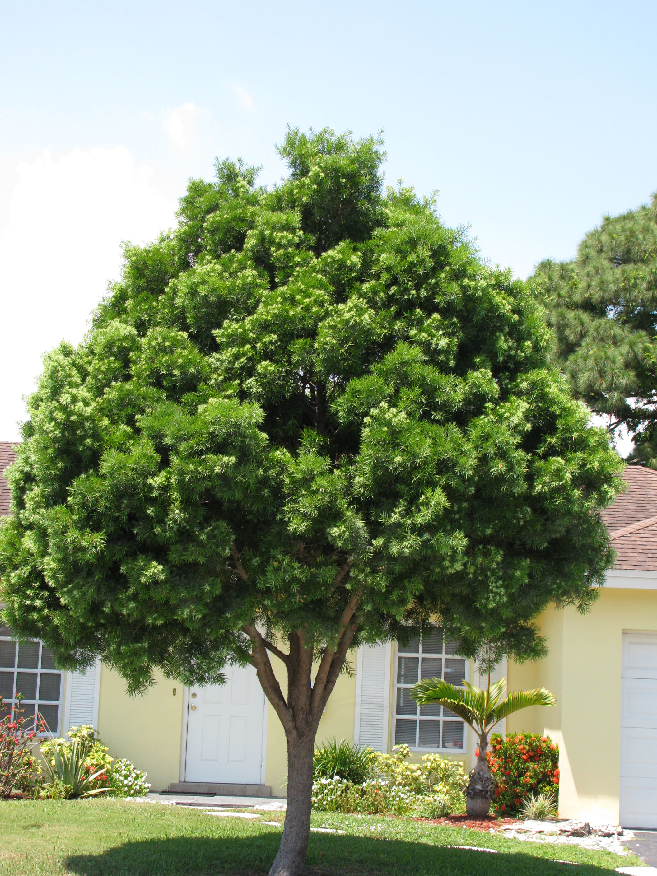 Image result for trees in west palm beach, florida