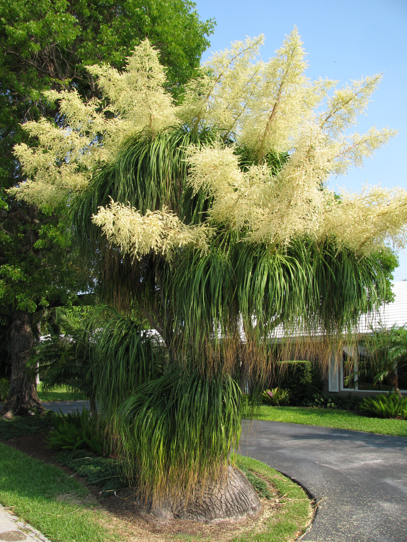 ponytail palm flower flores pinterest palms pony. Black Bedroom Furniture Sets. Home Design Ideas