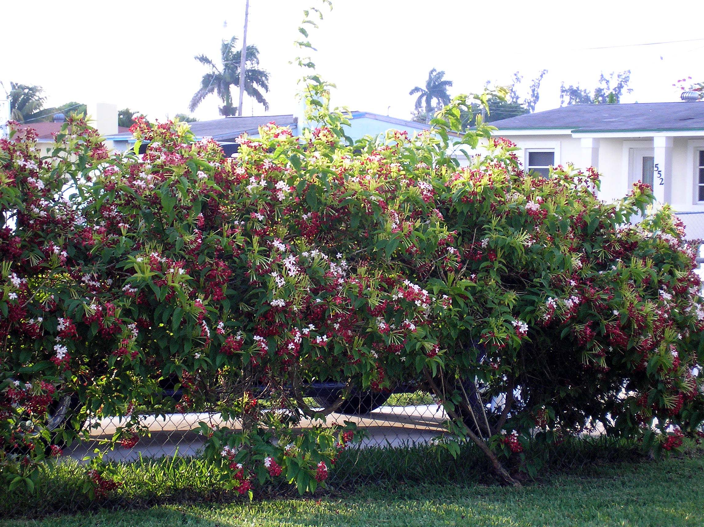 Tropical vines and Sub-Tropical vines, list, pictures and ...