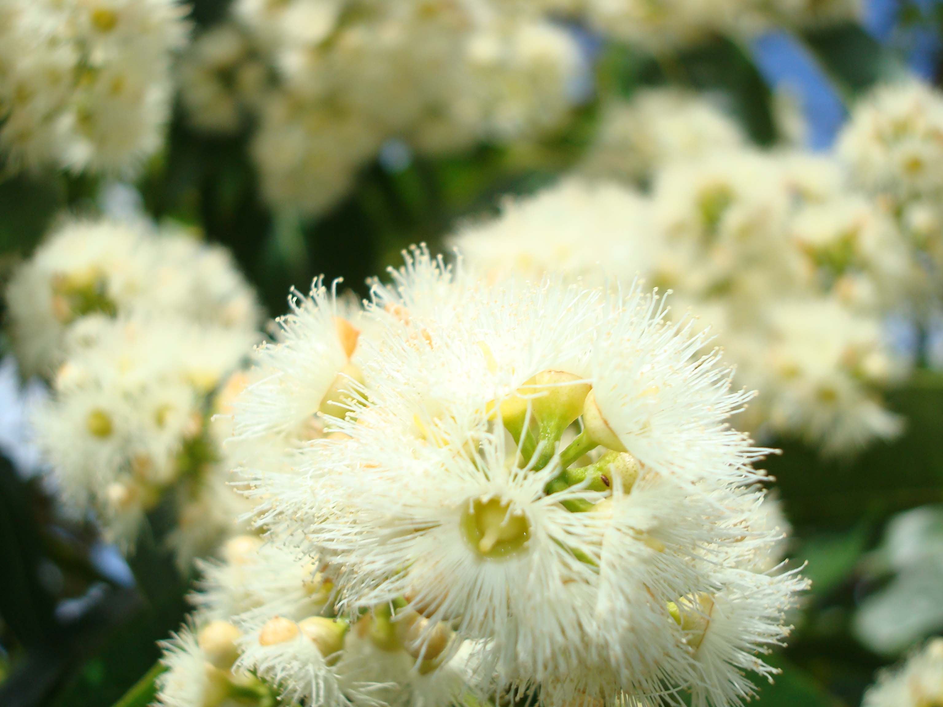 Blue Green Online >> Rainbow Eucalyptus, Eucalyptus deglupta, article