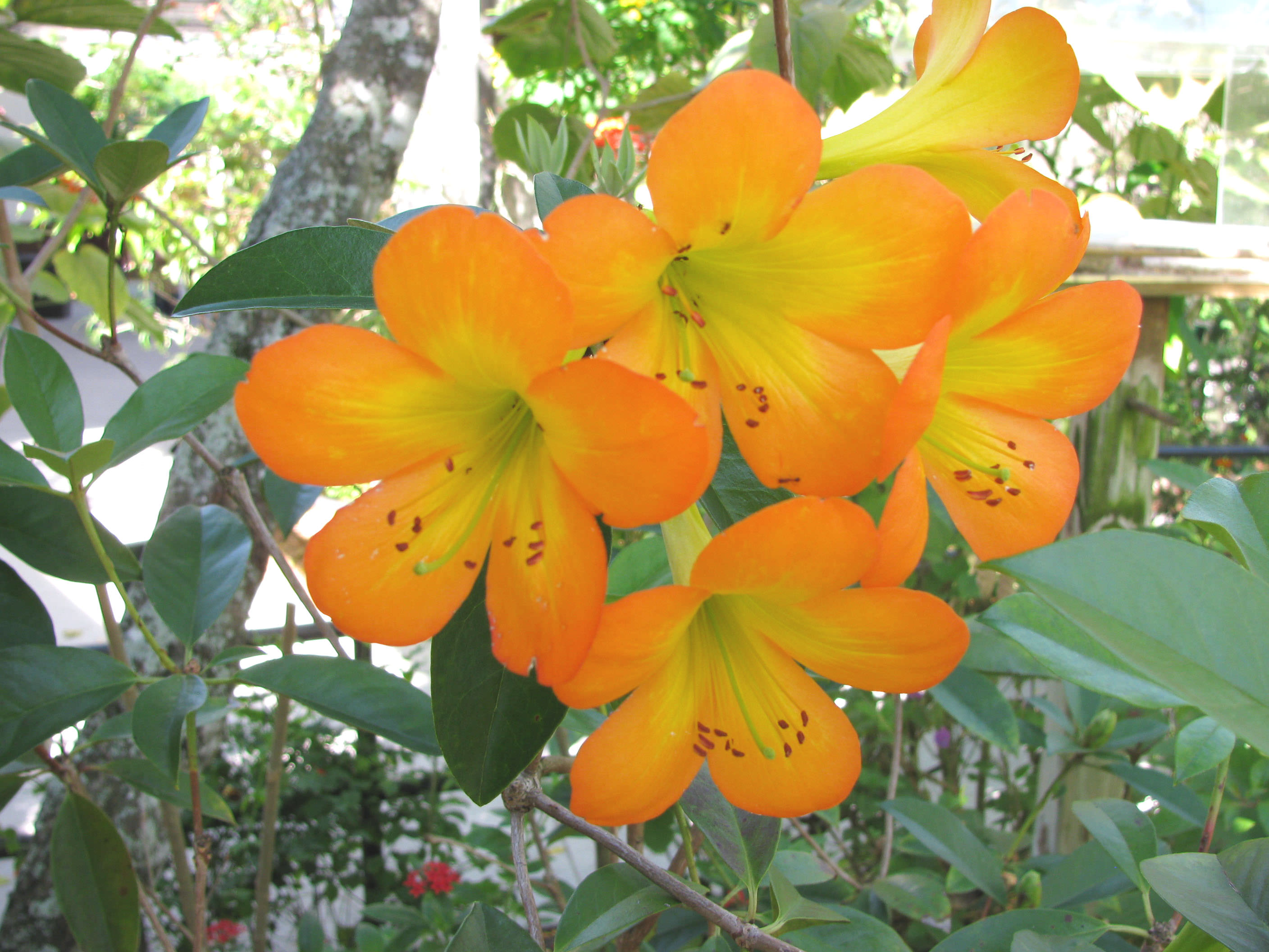 tropical rhododendron, article, Beautiful flower