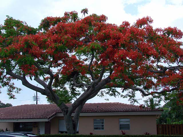 Royal Poinciana, Flamboyant tree, Flame tree, Delonix ...
