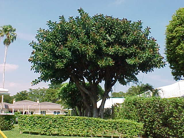 Ficus Elastica Is A Large Tree