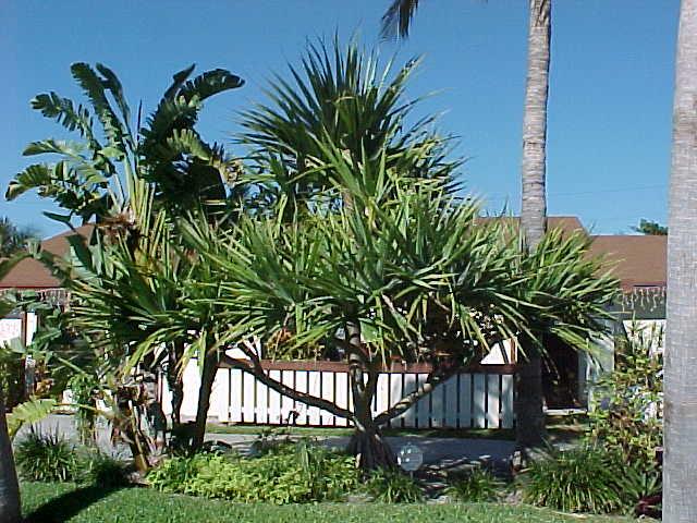 Screw Pine Pandanus Utilis Screw Pine