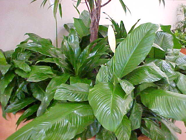 peace lily care instructions indoors