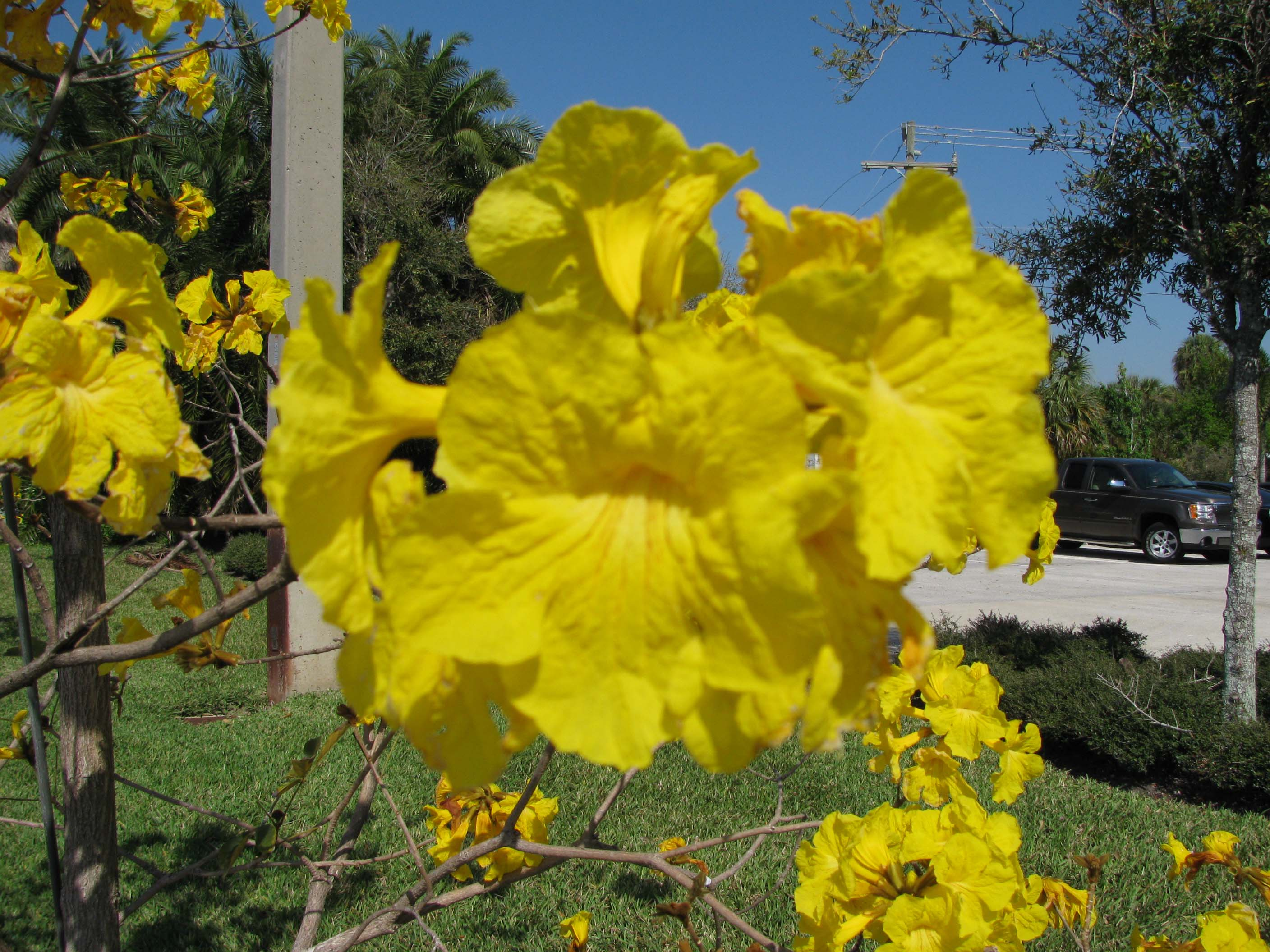 Yellow tabebuia tabebuia aurea article 3 mightylinksfo