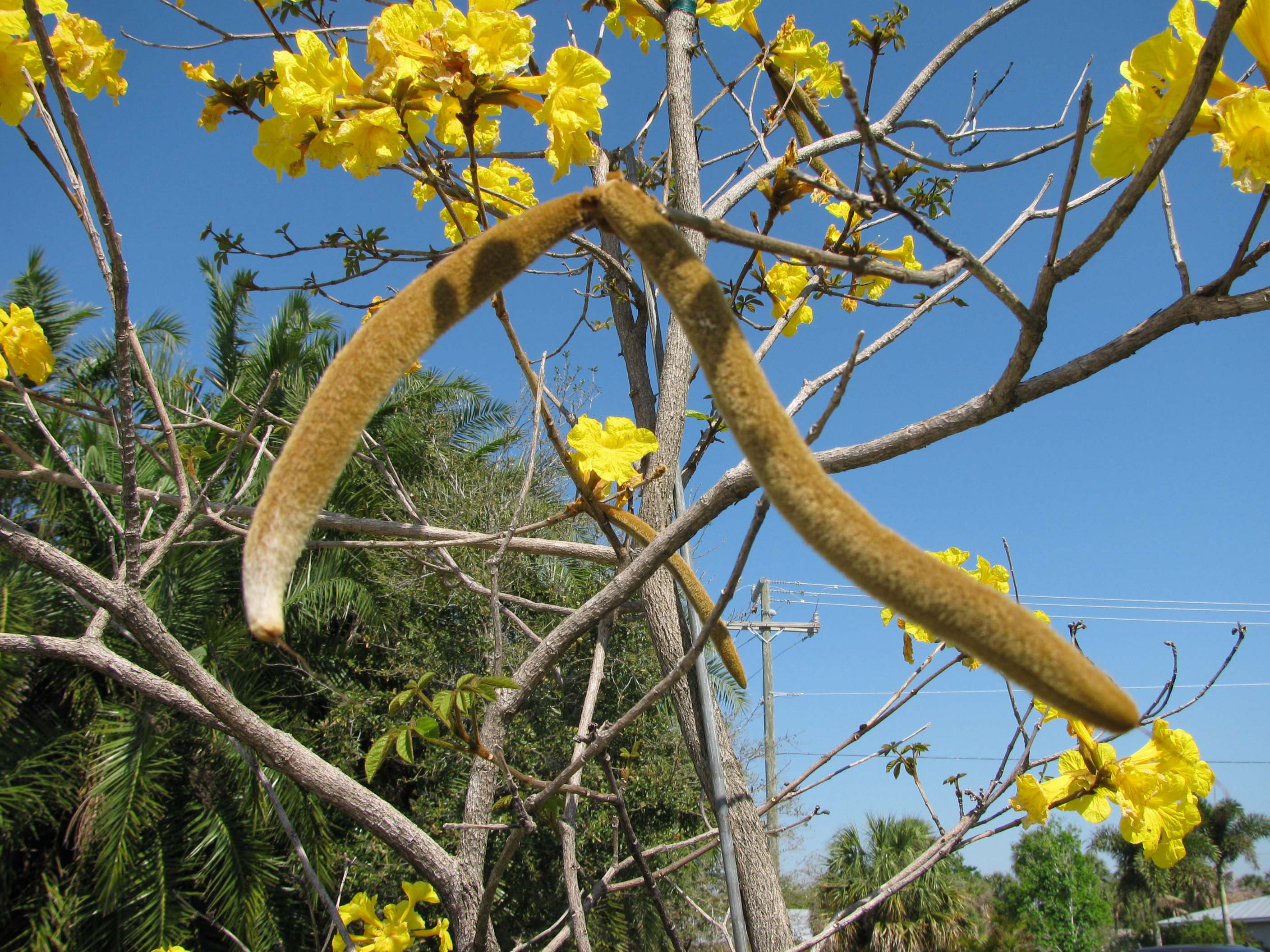 Yellow Tabebuia Tabebuia Aurea Article