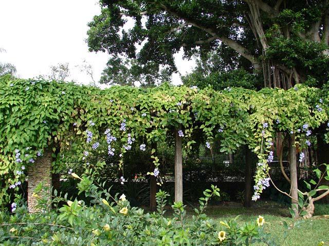 Sky Vine Clock Vine Thunbergia Grandiflora Article