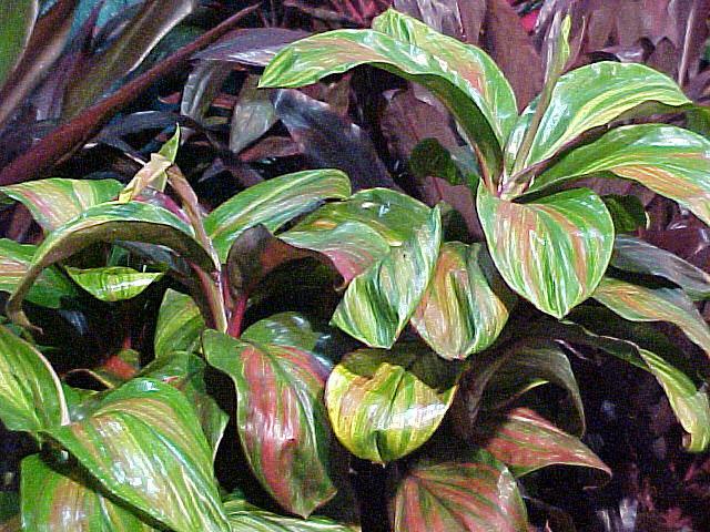 Ti Plant Cordyline Terminalis Article