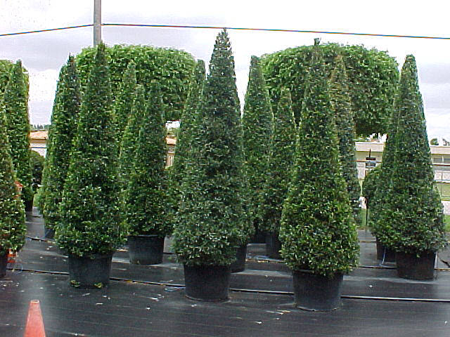 Tropical Hedges, a Primer, list, pictures and articles