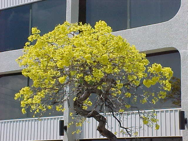Yellow tabebuia tabebuia aurea article the tree in this photo mightylinksfo