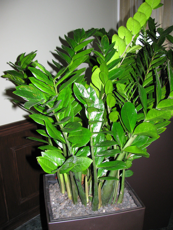 Zz plant zamioculcas zamiifolia article for Plante zamioculcas