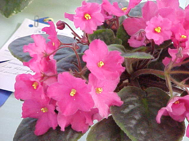 African violet saintpaulia a hot pink flower mightylinksfo