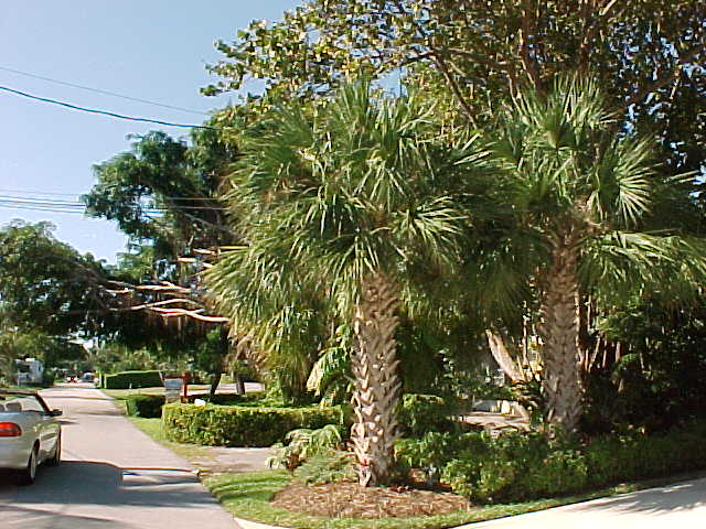 florida beaches with palm trees. Sabal Palm